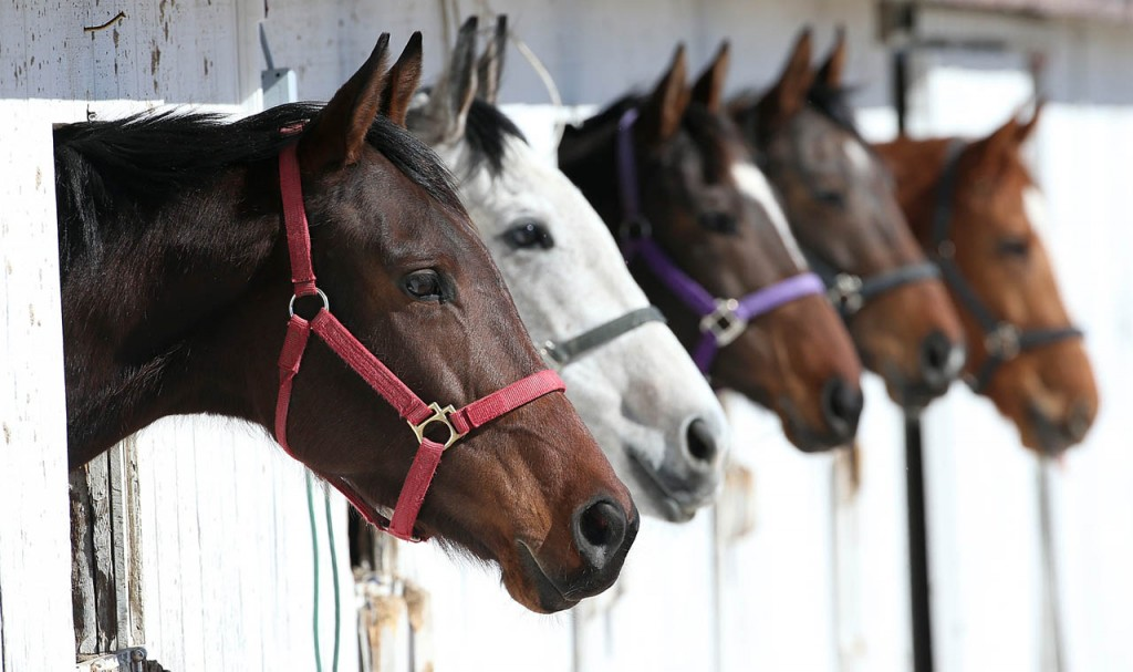 Race horses stick their heads out windows inside horse stalls during opening day at Fonner Park.