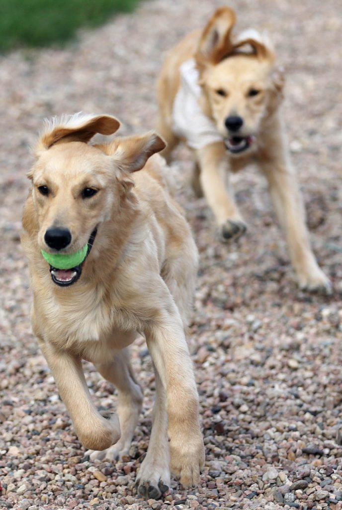 Two of four comfort dogs chase one another while playing fetch with a tennis ball at Peace Lutheran Church.