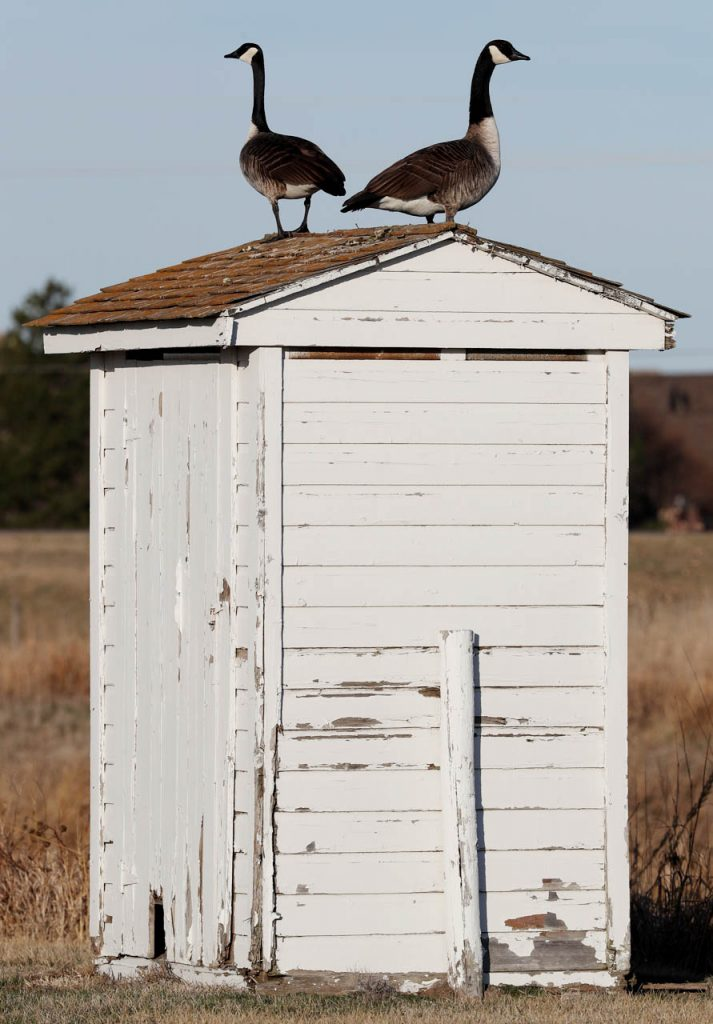 Two geese stand on top of a privy outside of the Taylor store prior to a living history apprentice training class at Stuhr Museum Saturday.
