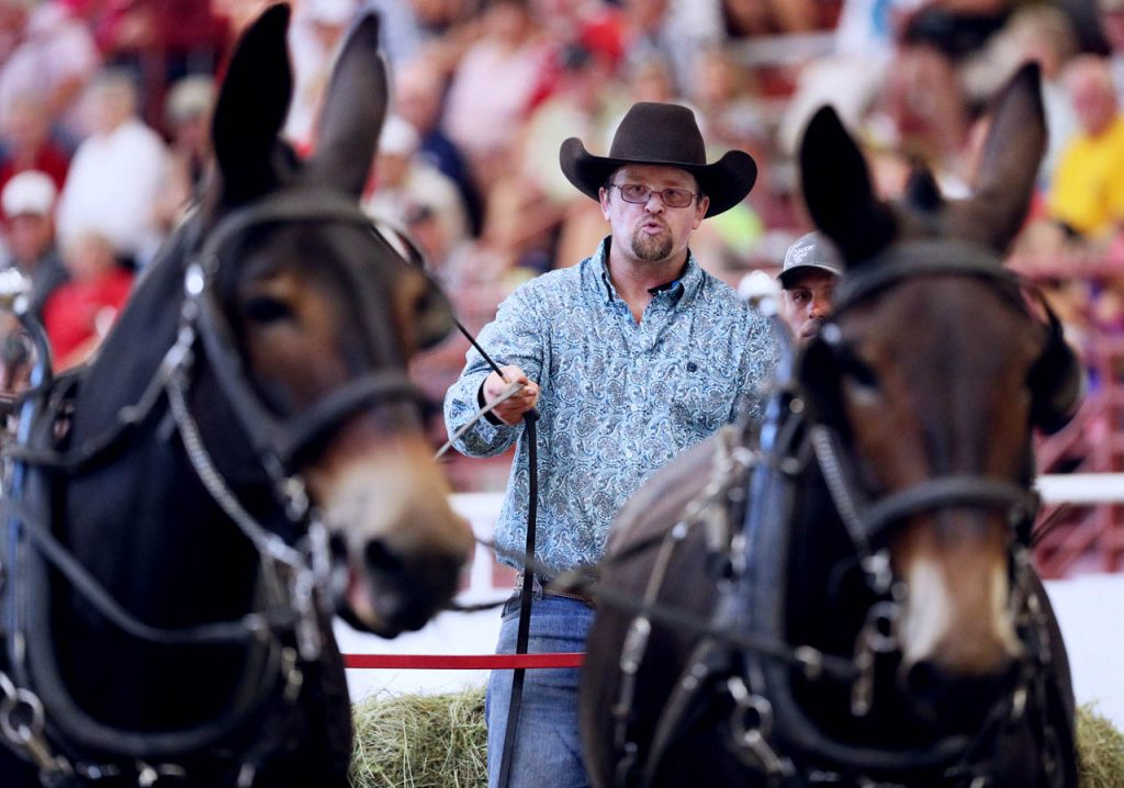 Adam Altmaier of Kearney drives his Altmaier Hitch one Percheron mules during the Draft Feed Team Race on opening day of the Nebraska State Fair.