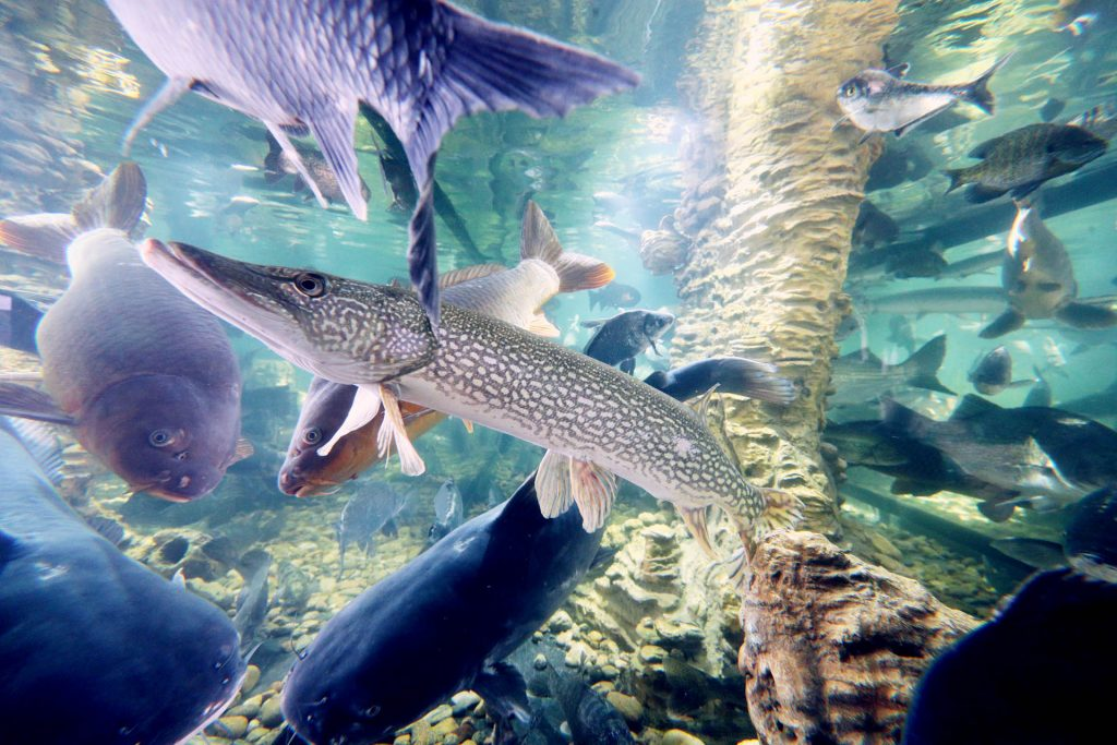 A Northern Pike, center, swims inside an aquarium with a multitude of other fish inside the Nebraska Building at the 2017 Nebraska State Fair.